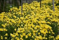 黄菊とシロツメクサと紅葉と