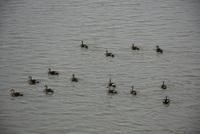 出羽大橋から見る鴨たちの群れ