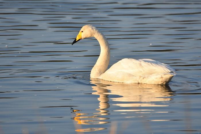 白鳥休む最上川河口