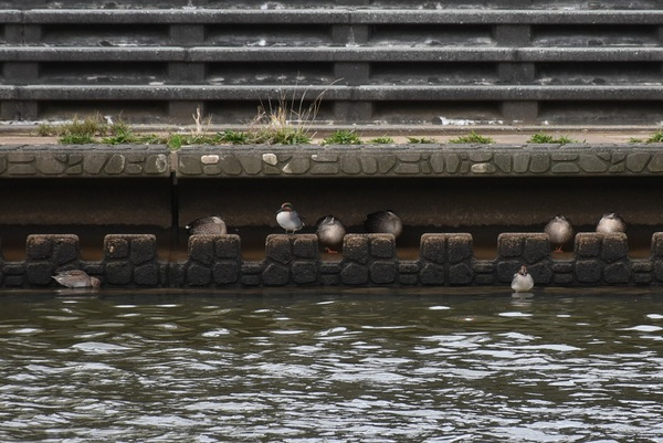 新井田川の鴨たちの隠れ家