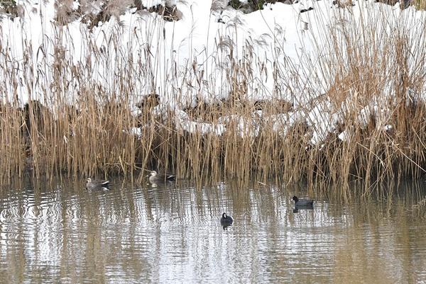 新井田川の葦原に住む水鳥たち