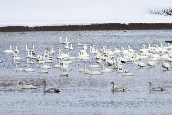 新井田川の白鳥