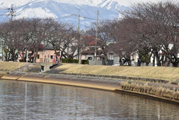 新井田川春の風景