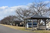 最上川土手の桜並木はまだ固い蕾