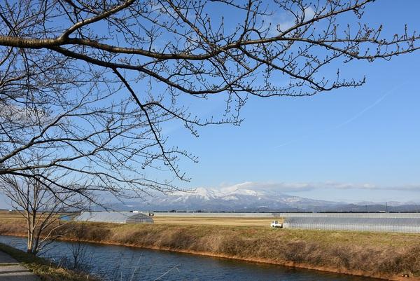 幸福川と桜のつぼみ