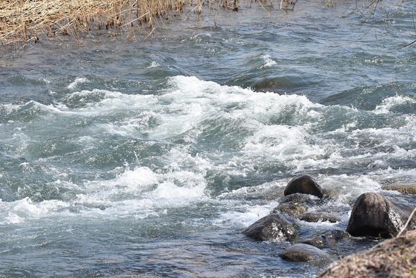 荒瀬川にノビタキの群れ