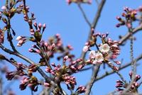 いよいよ桜の出番 2018/04/10 08:09:22