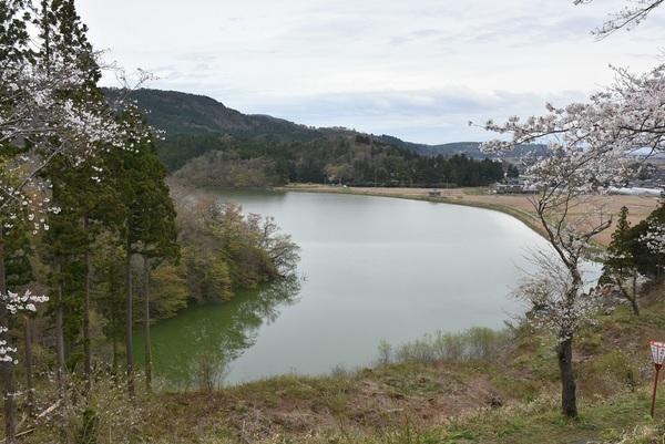 鶴岡市大山の桜と旅鳥アオジ
