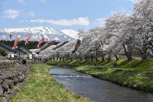 遊佐町中山河川公園で桜を愛でる(めでる)