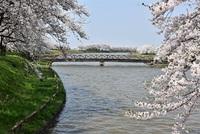 庄内町小出沼の桜並木