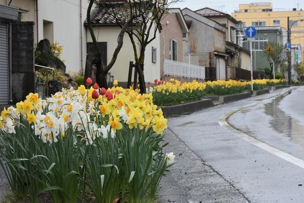 雨の日の街路樹脇の水仙たち