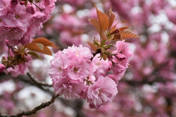 飯森山公園の里桜