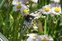 月光川遊歩道の白い蝶