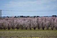 東平田地区の桜満開