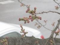 春のつぼみ(*^^*)