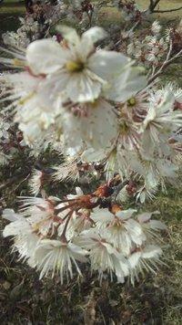 こちらの桜