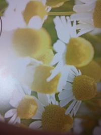 パンフの白菊…