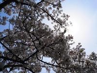 鶴岡公園で花見