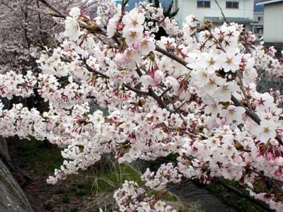 山形の桜が