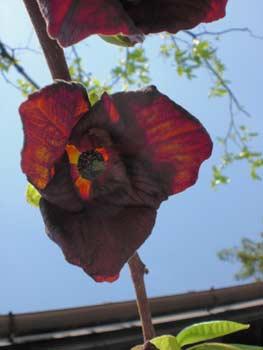 ポーポーの花