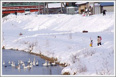 ☆上山・須川~白鳥のいる景色☆
