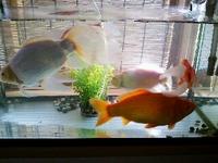 我が家の金魚♪