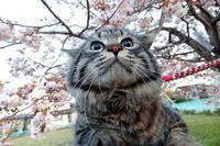 八重桜アンジュ