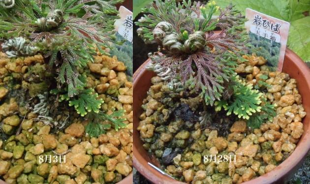 イワヒバ 美薗の華と玉手箱 挿し葉