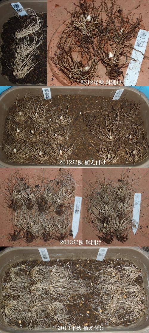 山原氏実生品種植え替え.2