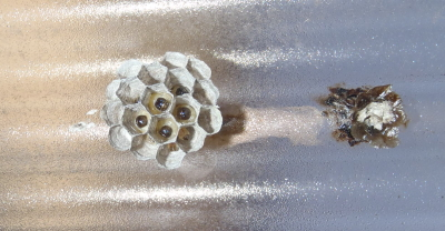 アシナガバチの巣作り.4