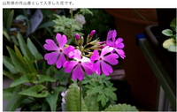 日本桜草コミュニティ