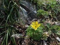 福寿草 実生から開花まで 肥料