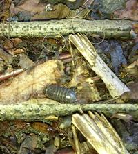 陸生のヨコエビ オカトビムシ
