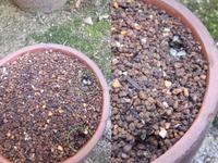福寿草 蟻が種を運んで増える