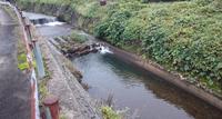 サクラマスの産卵場 赤川右岸支線岩本川