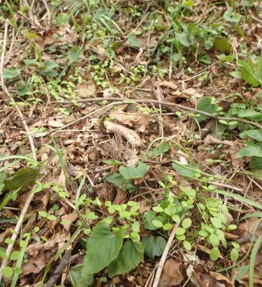 福寿草 山で種まき 備忘録