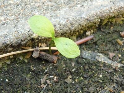 福寿草 蟻の巣からの発芽