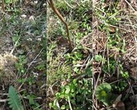 福寿草 山で種まき 発芽率高