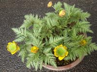 福寿草 寿 花色変化の魅力