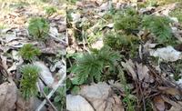 福寿草 山に蒔いて7年芽