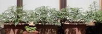 福寿草 吉野 葉が繁る.3