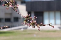 咲き出しました。