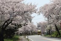 桜、満開。