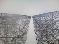 果樹園の除雪