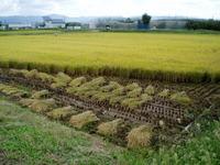 稲刈本格化