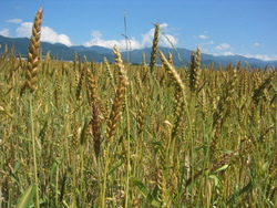天童へ又麦畑見学