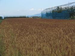 またまた天童の麦畑見学