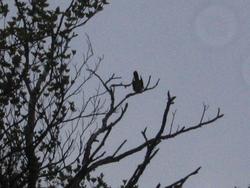 蔵王坊平高原で本年初めてカッコウが鳴きました