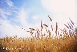 国産ナンブ小麦