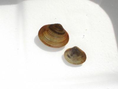 用水路の貝たち.2